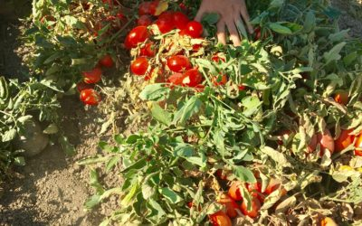 Processed Tomatoes, A Sustainable Choice