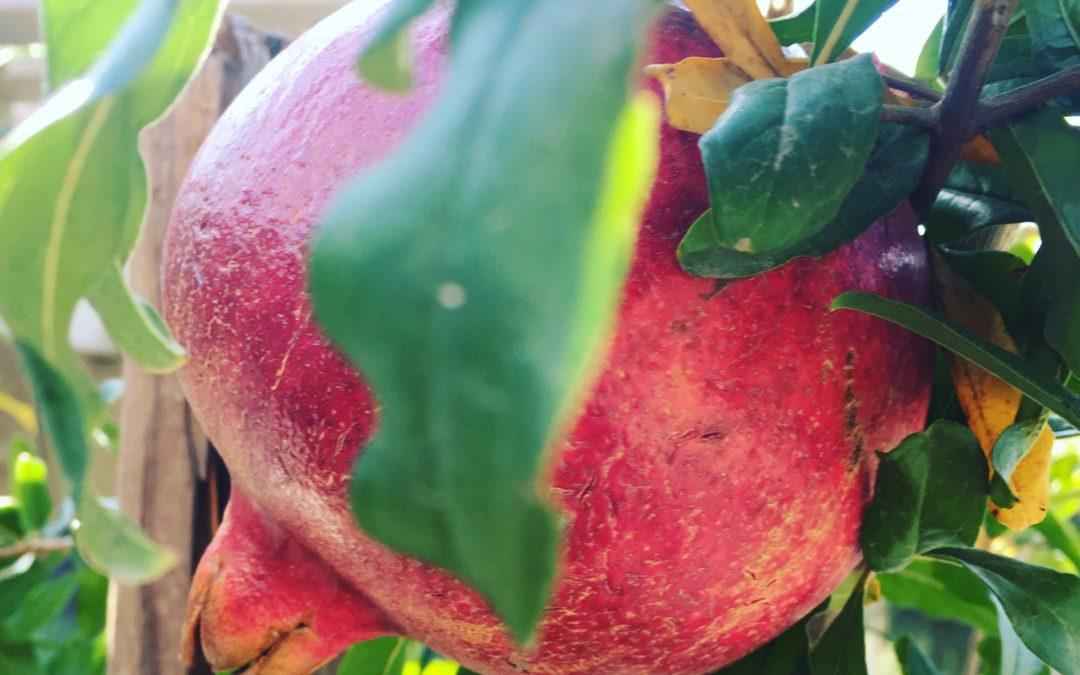 Pomegranates May Help Osteoarthritis